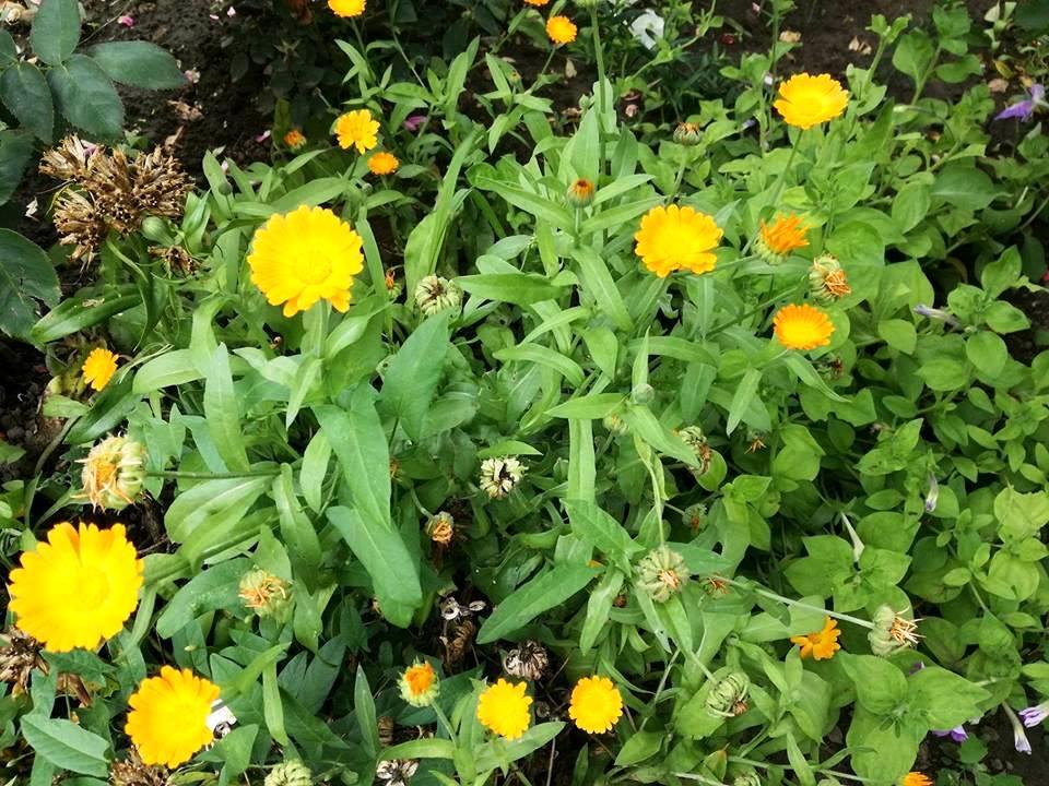 Невен (Calendula officinalis)