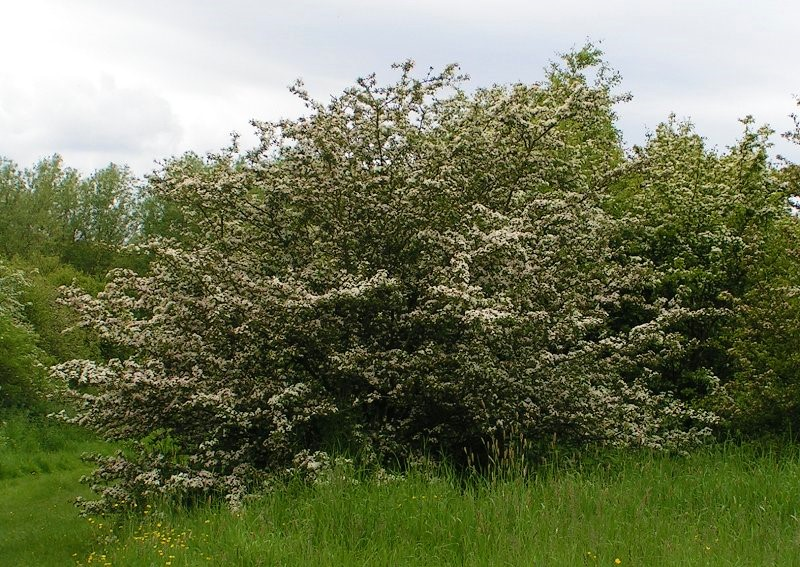Common_hawthorn